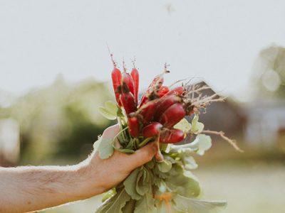 Hand-picked-radishes-farm-fresh-organic